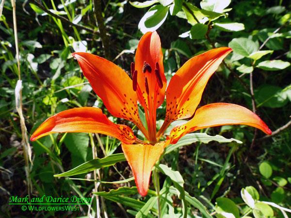 Lilium philadelphicum - Wood Lily, stamen
