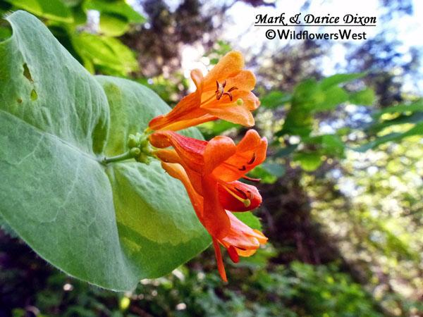 Lonicera ciliosa, flower