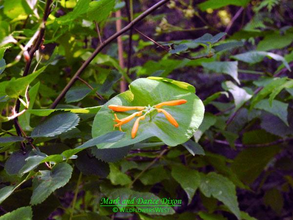 Lonicera ciliosa, immature flowers