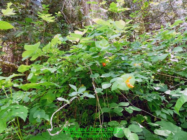 Lonicera ciliosa, plant