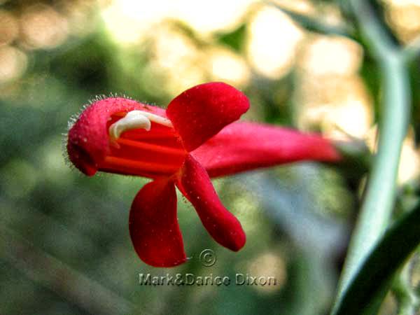 Scarlet Bugler, flower view