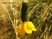 Ratibida columnifera