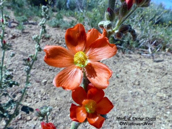 Sphaeralcea ambigua flower