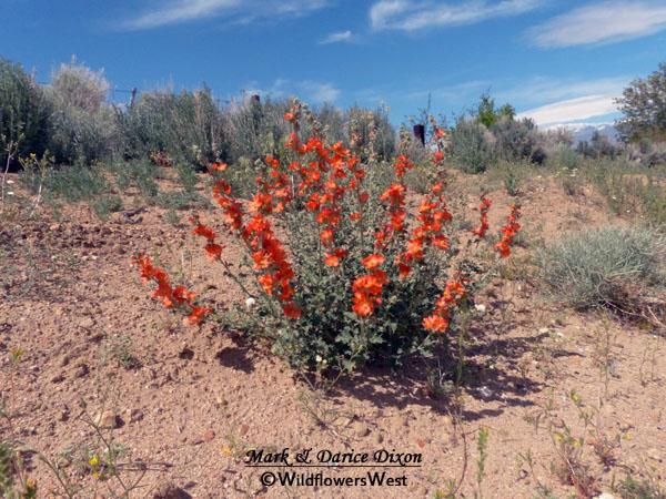 Sphaeralcea ambigua plant