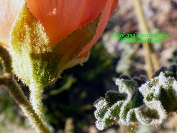Sphaeralcea ambigua var. rugosa, stellate hairs