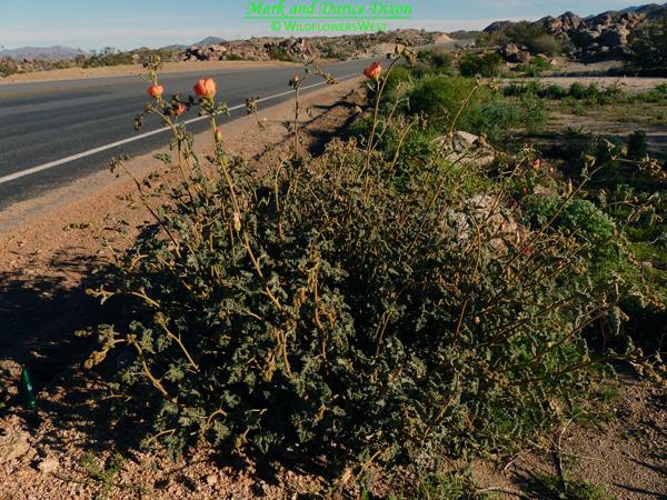 Sphaeralcea ambigua var. rugosa - Apricot Mallow, plant