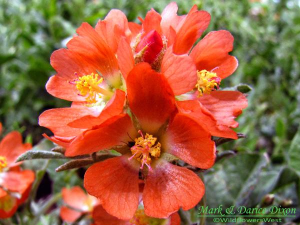 Copper Mallow (Sphaeralcea coccinea), flower view