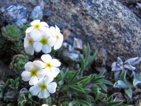 Alpine Rockjasmine (Androsace chamaejasme), flower view