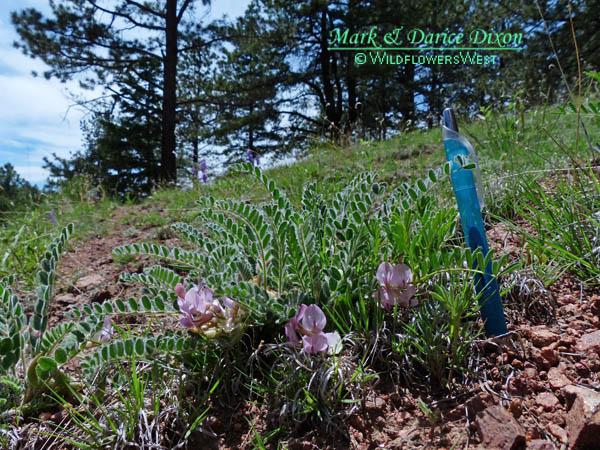 Astragalus parryi