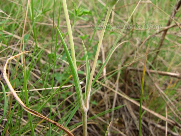 Bruneau Mariposa Lily (Calochortus bruneaunis), foliage detail