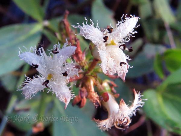 Buckbean (Menyanthes trifoliata), flower view