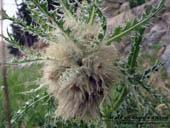 Cirsium scopulorum