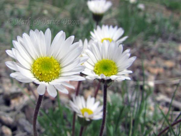 Cutleaf Daisy (Erigeron compositus), flower view