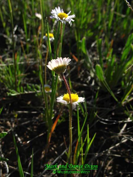 Erigeron flagellaris - Trailing Fleabane