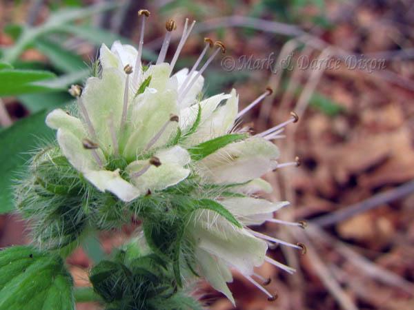Fendler's Waterleaf (Hydrophyllum fendleri), flower view