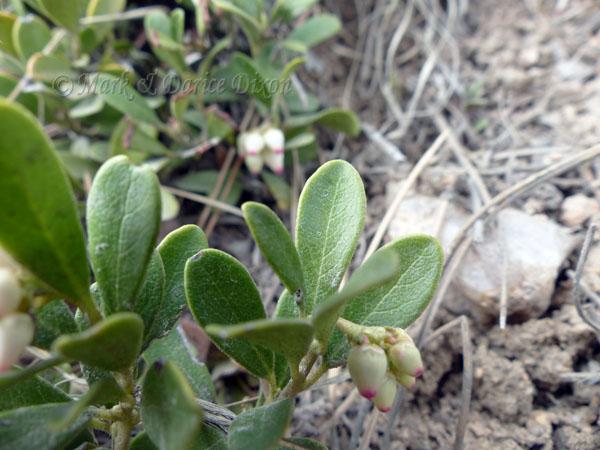 Kinnickinnick (Arctostaphylos uva-ursi), foliage detail