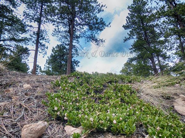Flagstaff Road above Boulder Colorado, plant location
