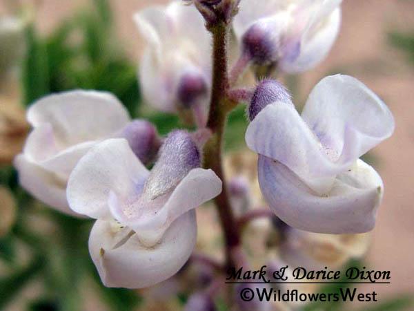 Silvery Lupine (Lupinus argenteus subsp. ingratus), flower view
