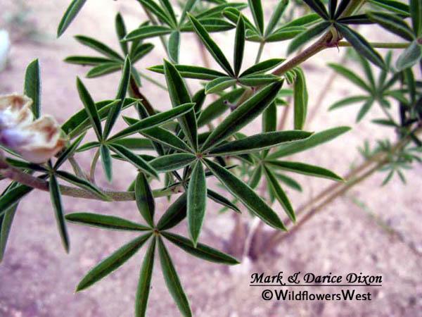 Silvery Lupine (Lupinus argenteus subsp. ingratus), foliage detail