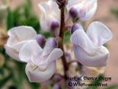 Lupinus argenteus ssp. ingratus