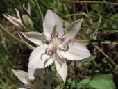 Calochortus lyallii