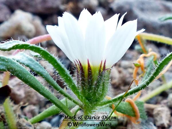 Monoptilon bellioides - Desert Star