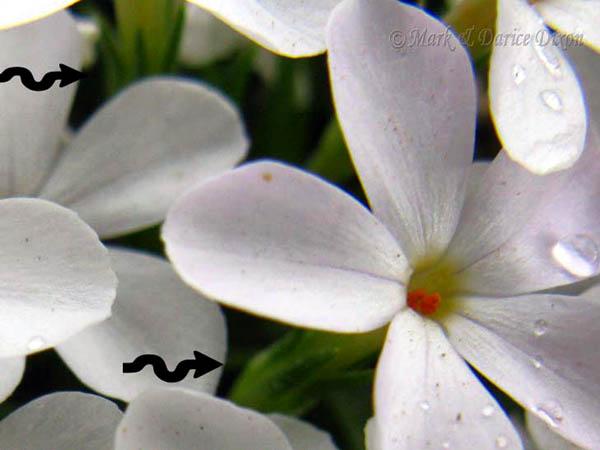 Phlox austromontana - Mountain Phlox