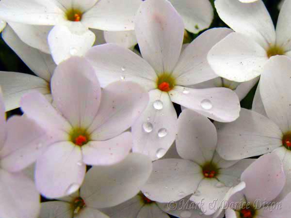 Mountain Phlox (Phlox austromontana), flower view