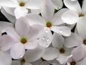 Phlox austromontana
