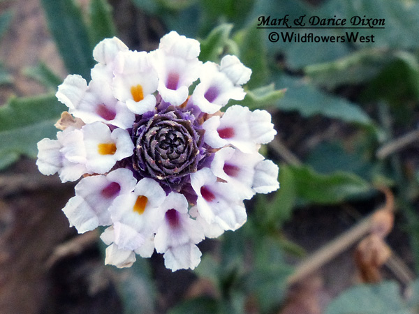 Phyla cuneifolia - Fogfruit, flower