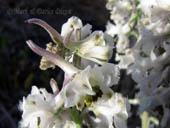 Delphinium carolinianum