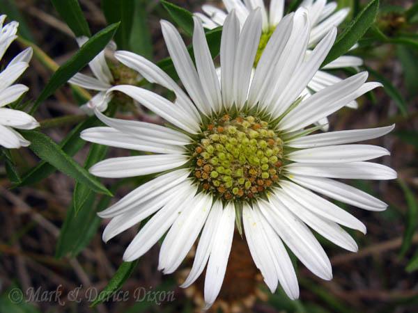 Showy Townsendia (Townsendia grandiflora), flower view