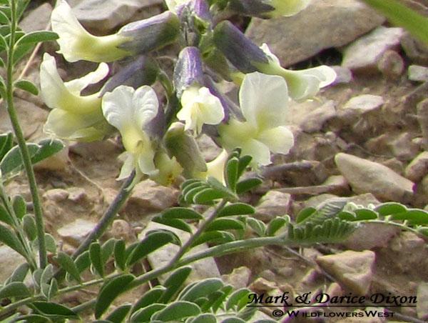 Silky Sophora caylx-stem view