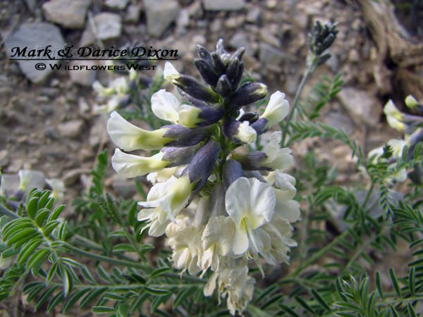 Silky Sophora (Sophora Nuttalliana), flower view