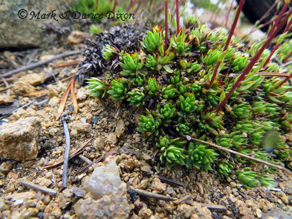 Spotted Saxifrage (Saxifraga bronchialis), foliage detail