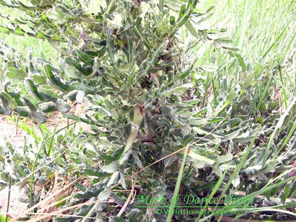 Plumed Thistle (Cirsium undulatum), foliage detail