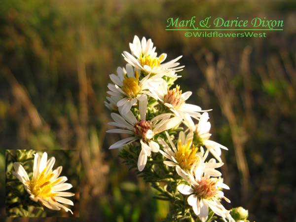 White Heath Aster (Symphyotrichum ericoides), flower view
