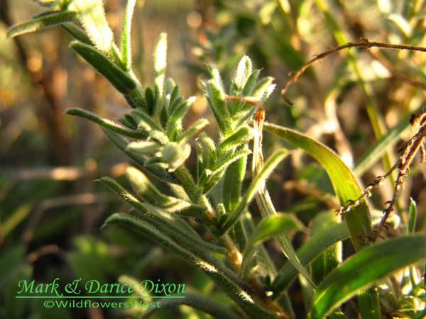 White Heath Aster (Symphyotrichum ericoides), foliage detail