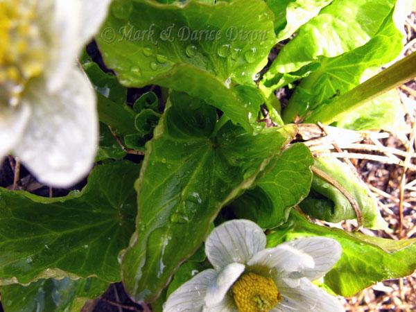Elkslip (Caltha leptosepala), foliage detail