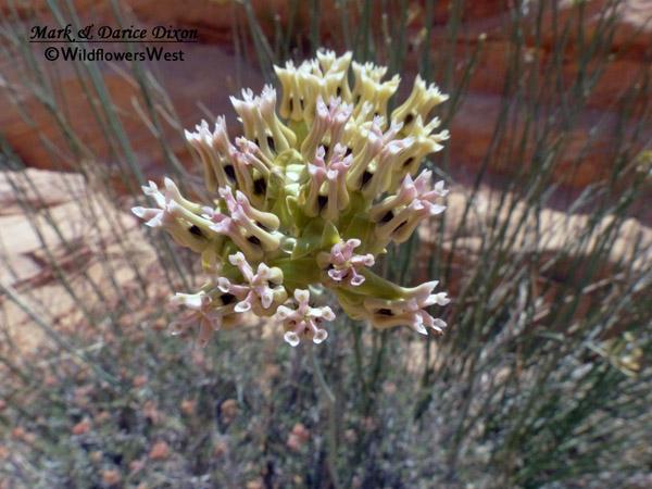 Asclepias subulata - Rush Milkweed, pink flower