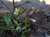 Brassica tournefortii - Saharan Mustard