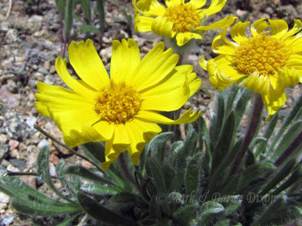Caespitose Four-Nerve Daisy, flower view