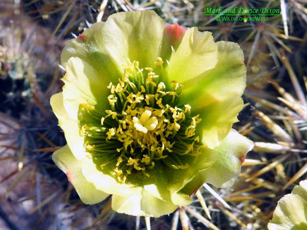 Cylindropuntia echinocarpa - Silver Cholla, flower