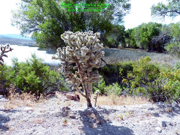 Cylindropuntia echinocarpa - Silver Cholla, plant