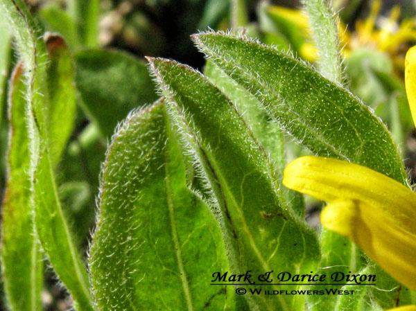 Dwarf Golden Aster, foliage macro