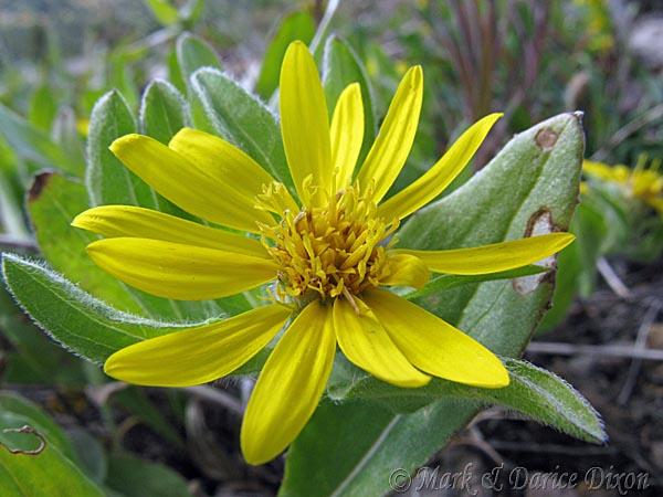 Dwarf Golden Aster (Heterotheca pumila), flower view