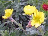Geum rossii var. turbinatum