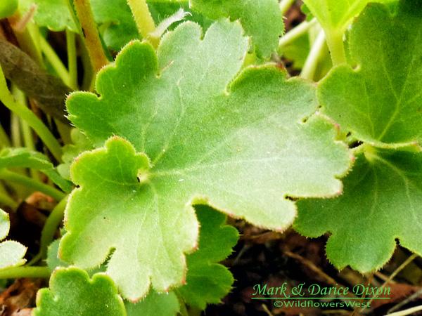 Heuchera parvifolia var. nivalis