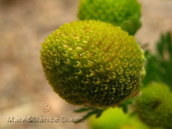 Matricaria discoidea