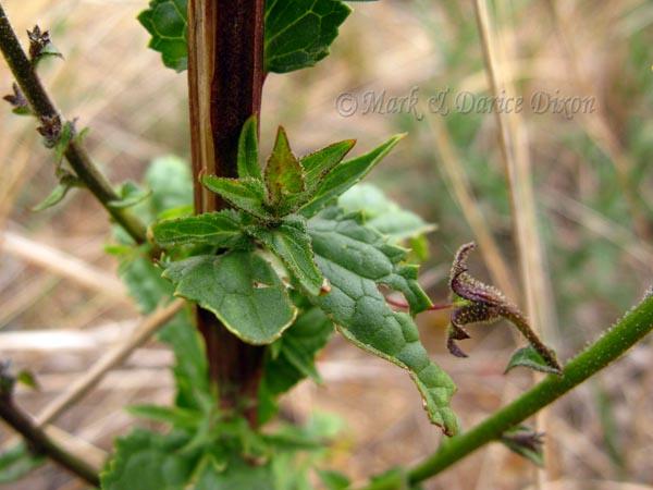 Moth Mullein, foliage detail